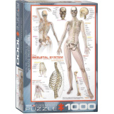 Skeletal System Human Body