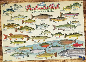 Freshwater Fish of North America 1000 piece puzzle